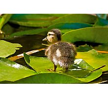 Lost Duckling Photographic Print
