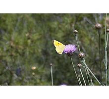 Clouded Yellow Photographic Print