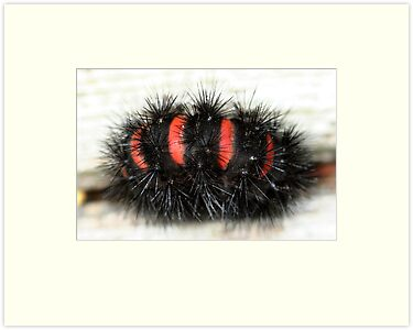 Orange Striped Wooly Worm by Karen Kaleta