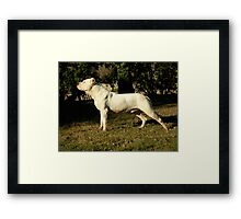 Young Dogo Argentino Framed Print