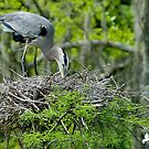 Great Blue Heron Turning Her Eggs in the Nest by TJ Baccari Photography