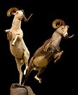 Leaping Rams by CarolM