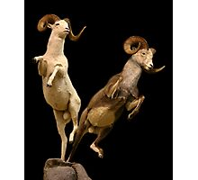Leaping Rams Photographic Print