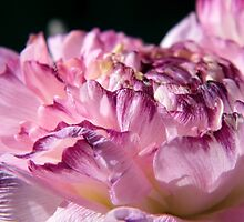 A Beautful Ranunculus by LoneAngel