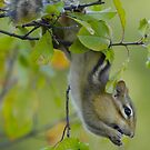 Chipmunk berry picker by gregsmith