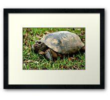 Box Turtle on the Run Framed Print