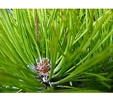 Pinecone baby in Spring Green Photographic Print