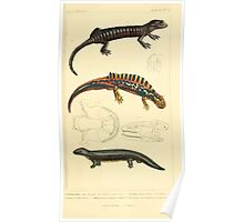 The Animal Kingdom by Georges Cuvier, PA Latreille, and Henry McMurtrie 1834  041 - Reptilia Reptiles Poster