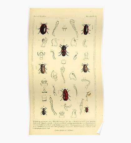 The Animal Kingdom by Georges Cuvier, PA Latreille, and Henry McMurtrie 1834  439 - Insecta Insects Poster