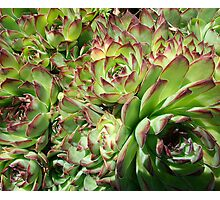 Hens and Chicks Photographic Print