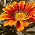 Orange Flower by Quinton Smith