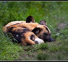 Let sleeping dogs lie by Shaun Whiteman