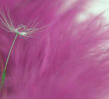 Drop on a dandelion by Tony Eccles