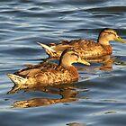 Ducks by MarkJeremy