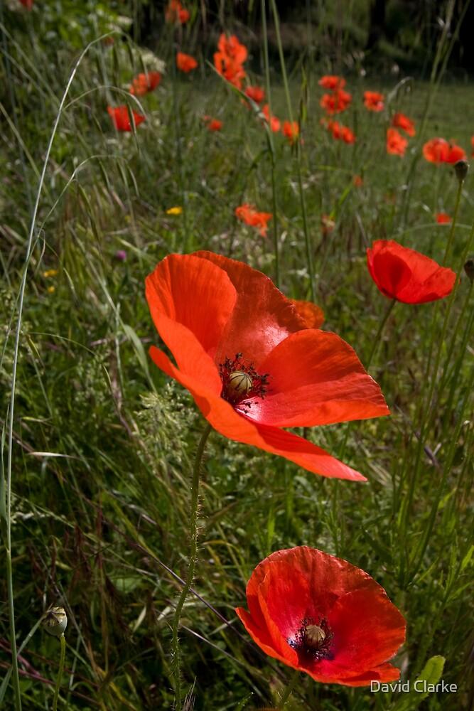 Poppies 1 by David Clarke