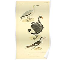 The Animal Kingdom by Georges Cuvier, PA Latreille, and Henry McMurtrie 1834 749 - Aves Avians Birds Poster