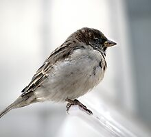 Sparrow in Fed Square by Elizarose
