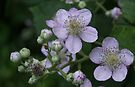 Blackberry flowers by steppeland