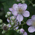 Blackberry flowers by steppeland
