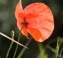 Poppy butterfly! by David Clarke