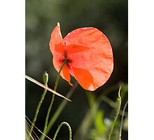 Poppy butterfly! Photographic Print
