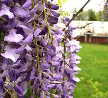 Wisteria by Brian Ledbetter