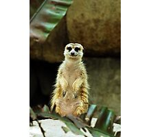 One meerkat coming up! Photographic Print
