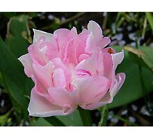 Pale Pink Tulip  Photographic Print