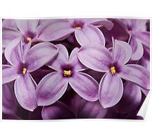 Macro Lilacs In Stu 1:1 macro Poster