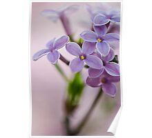 Macro Lilacs In Stu 2 Poster