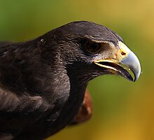 Harris Hawk by Samantha Dean