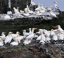 Gannets on Noss, Shetland by Richard Ion