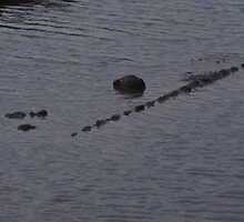 aligator in the taff river by TudorSaxon