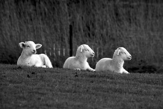Three lambs by woolleyfir