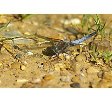 Black tailed skimmer dragonfly Photographic Print