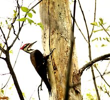 Woodpeckers  by terrebo