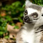Sunlit Lemur by Stephanie B