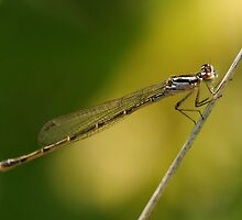 Damselfly by PamelaJoPhoto