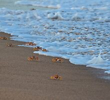 The March - Ghost Crabs (Ocypodinae) by Deborah V Townsend