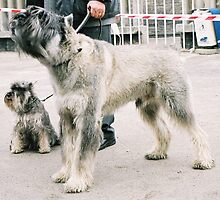 Furry Schnauzer Giant by welovethedogs