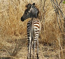 Baby Zebra by DUNCAN DAVIE