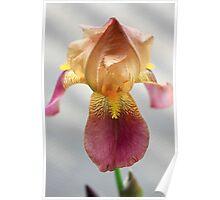 Iris In Dry Brush Poster
