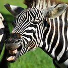 Laughing Zebra (Equus quagga) by Deborah V Townsend