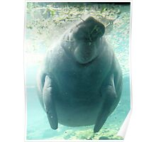 West Indies Manatee Poster