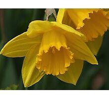 Daffodil Macro Photographic Print