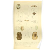 The Animal Kingdom by Georges Cuvier, PA Latreille, and Henry McMurtrie 1834  240 - Mollusca Mollusks Poster