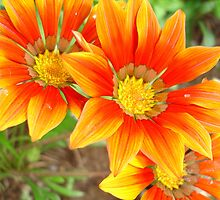 Vibrant Yellow and Vermillion Gazania Rigens Flower by taiche