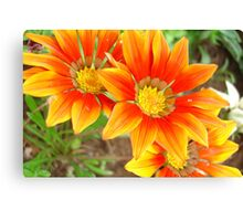 Vibrant Yellow and Vermillion Gazania Rigens Flower Canvas Print