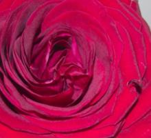 Big red rose Sticker
