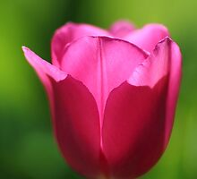 Irresistible Pink Tulip by rumisw